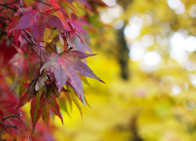 Cider-with-Rosie-Red-acer-leaves-1