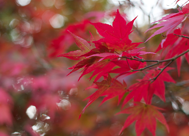 Cider-with-Rosie-Red-acer-leaves-3