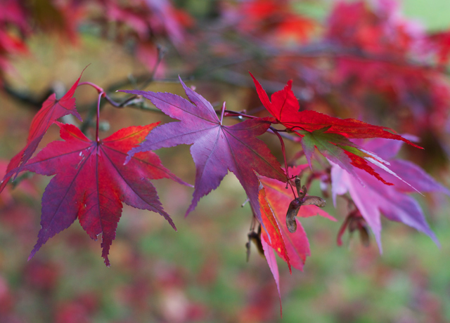 Cider-with-Rosie-Red-acer-leaves