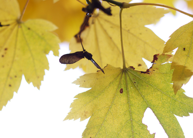 Cider-with-Rosie-yellow-acer-leaves-1