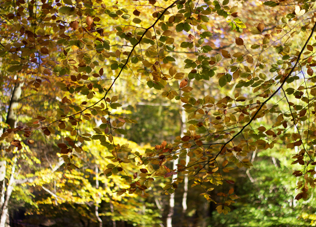 Yellowing-Autumn-leaves