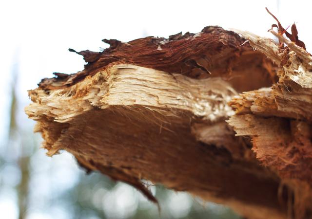 Fallen-pine-tree