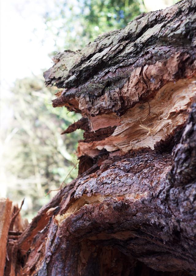 Fallen-pine