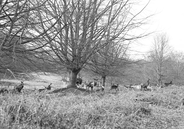 Richmond-Park-Deer-Herd