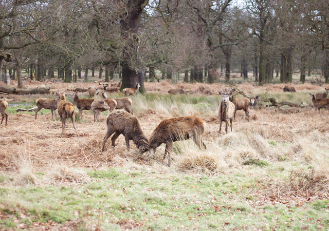 Richmond-Park-Rutting-Deer