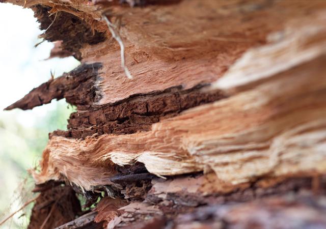 Split-pine-tree
