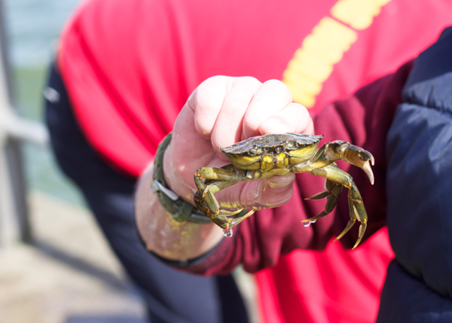 Dorset-crab