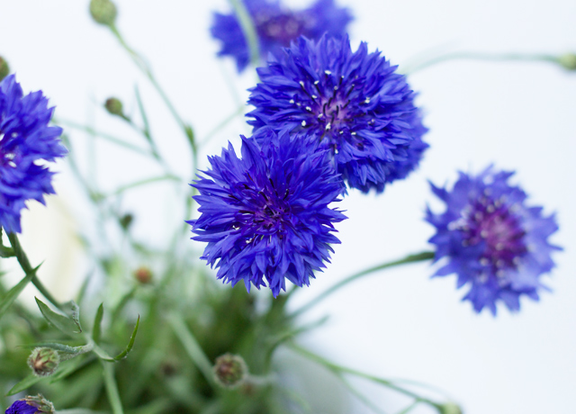 Cider-with-Rosie-cornflowers-macro