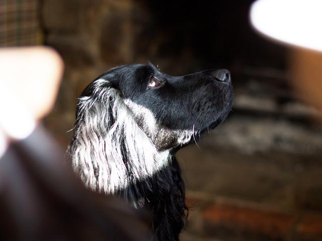Dog-in-pub