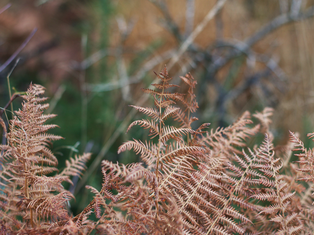 Bronze-ferns