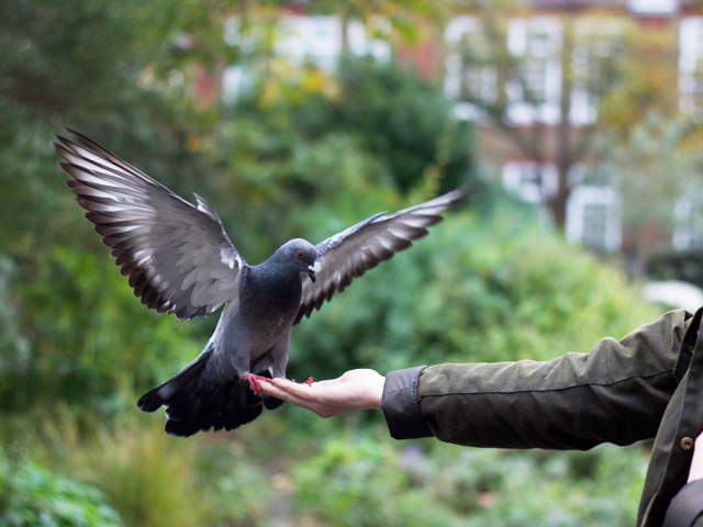 Feeding-pigeons-by-hand