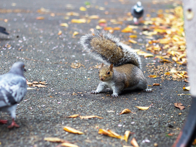 London-squirrel