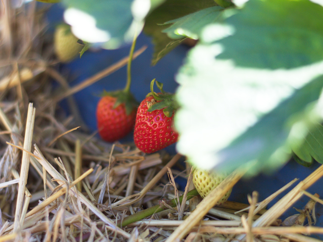 PYO-strawberries-Surrey