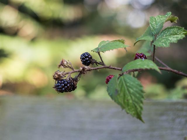 Cider-with-Rosie-Autumn-blackberry-picking-12