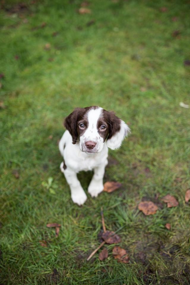 Cider-with-Rosie-Elsie-springer-spaniel-puppy-10