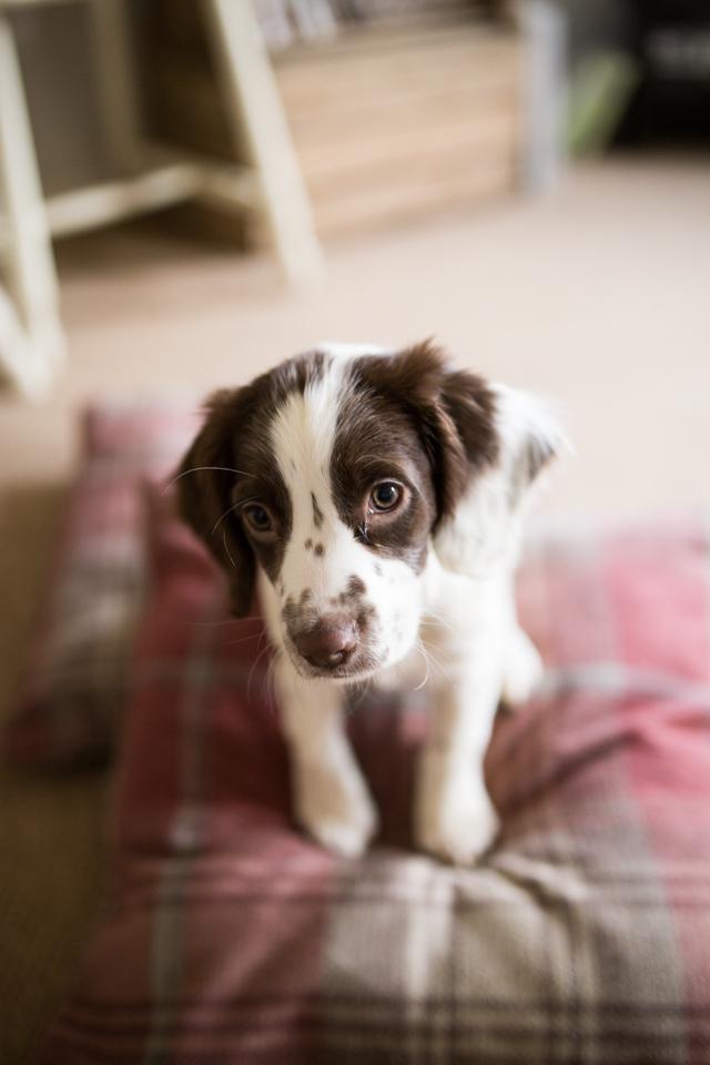 Cider-with-Rosie-Elsie-springer-spaniel-puppy-11