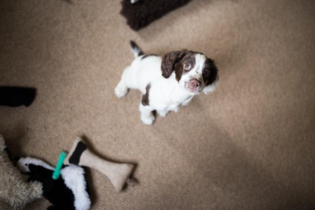 Cider-with-Rosie-Elsie-springer-spaniel-puppy-2
