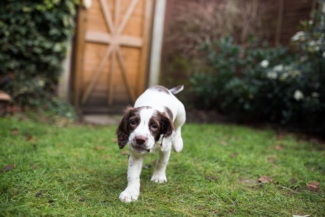 Cider-with-Rosie-Elsie-springer-spaniel-puppy-4