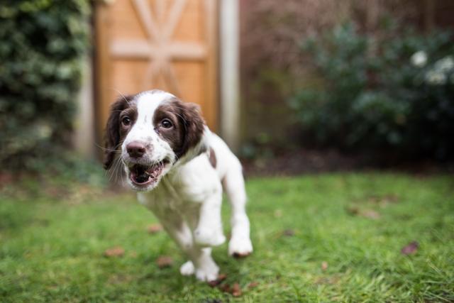Cider-with-Rosie-Elsie-springer-spaniel-puppy-5