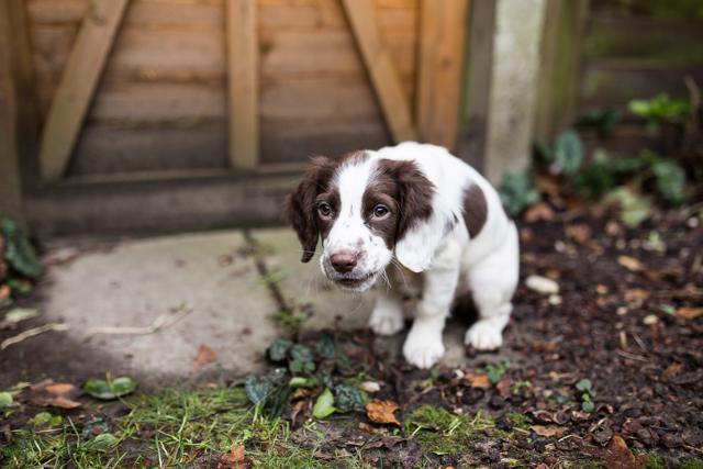 Cider-with-Rosie-Elsie-springer-spaniel-puppy-6