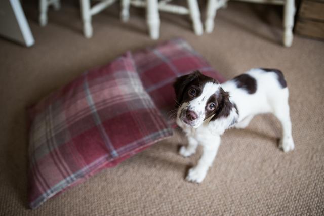 Cider-with-Rosie-Elsie-springer-spaniel-puppy