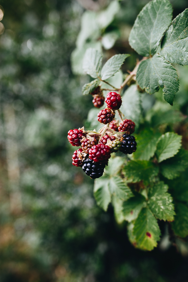 Cider-with-Rosie-blackberrying-10